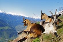 Bergziege / Südtirol 2