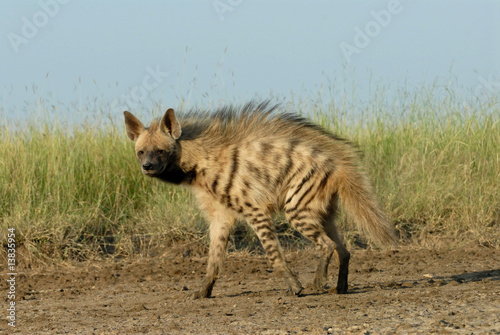 Foto op Canvas Hyena Striped Hyena