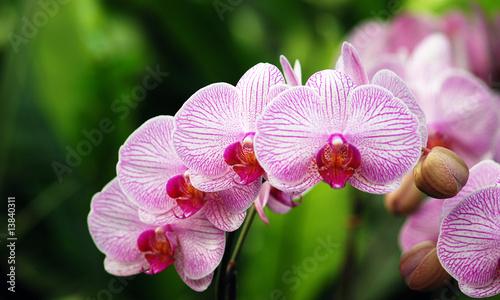 Poster Orchid Blütenreihe einer Phalaenopsis-Orchidee