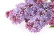 Flieder auf weiss - lilac on white 04