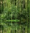 bambou au bord de l eau