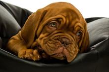 Dogue De Bordeaux Puppy On A B...