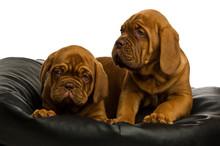 Dogue De Bordeaux Puppies Isol...