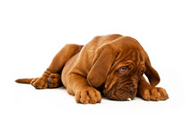 Dogue De Bordeaux Puppy Isolat...
