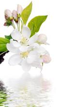 Flowering Apple Tree With Water