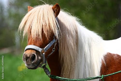 Fotografie, Obraz  Shetland-Pony