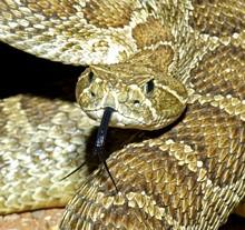 A Prairie Rattlesnake Flicking Its Tongue..