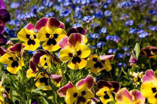 Deurstickers Pansies pansies - viola tricolor