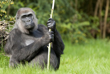 Female Western Lowland Gorilla...