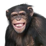 Fototapeta Zwierzęta - Young Chimpanzee - Simia troglodytes (6 years old)