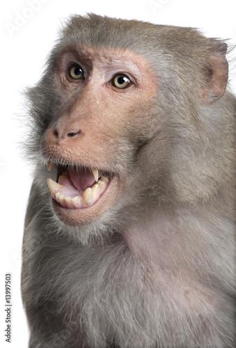 In de dag Rhesus Macaque - Macaca mulatta