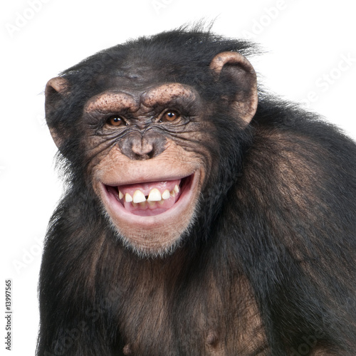 Fotografiet Young Chimpanzee - Simia troglodytes (6 years old)