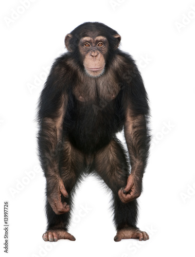 Young Chimpanzee standing up like a human - Simia troglodytes (5 Canvas Print