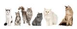 Rasowe koty w rzędzie: Norweski, Syberyjski i Perski