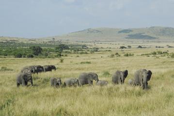 Fototapeta Słoń African Bush Elephant (Loxodonta africana) at Masai Mara, Kenya