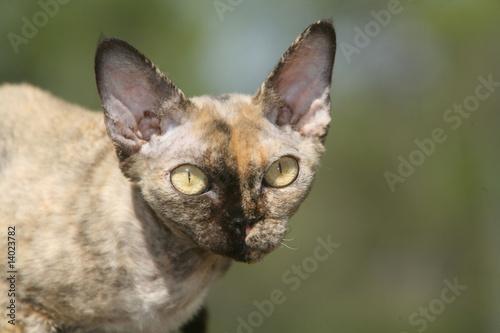 Fotomural tête de profil d'un chat rex devon,à l'air étrange et inquiétant