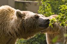 Polar Bear Eatiing Leaves