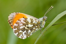 Close-up Of Orange Tip Butterf...