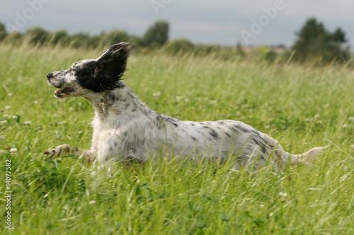 Fotografie, Obraz  setter anglais courant dans les champs dans le vent de profil
