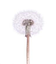 Dandelion Isolated On White