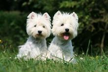 Duo De West Highland Terrier Assis Cote à Cote Dans Le Jardin