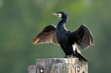 Great Cormorant (Phalacrocorax Carbo) Drying Wings