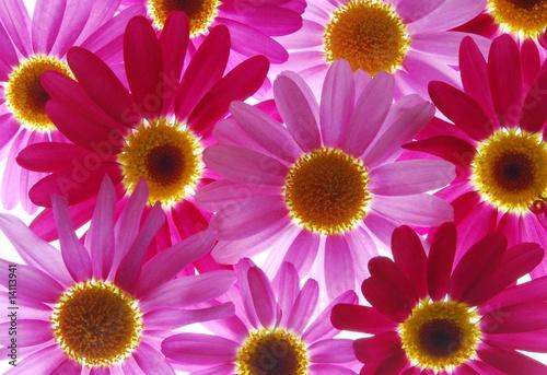 Fotobehang Macro red and pink marguerites