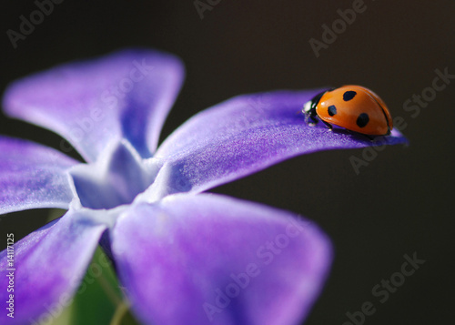 7 Spotted Ladybird on Lesser Periwinkle Wallpaper Mural