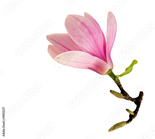 Foto op Canvas Magnolia Single Magnolia