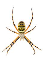 Détourage D'une Araignée Argiope Fasciée