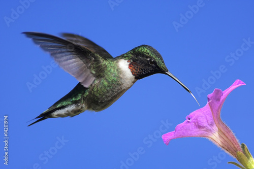 Aufkleber - Male Ruby-throated Hummingbird (archilochus colubris)