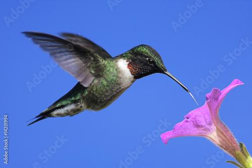 Sticker - Male Ruby-throated Hummingbird (archilochus colubris)