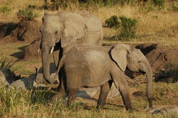 FototapetaAfrican Bush Elephant (Loxodonta africana) at Masai Mara, Kenya