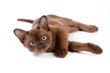 Burmese Kitten On White Backgr...