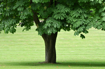 FototapetaKastanie. Kastanien Baum einzeln auf dem grünen Rasen.