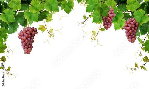 Fototapeta Grapevine border with pink grapes obraz