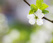 canvas print picture Plum tree blooming