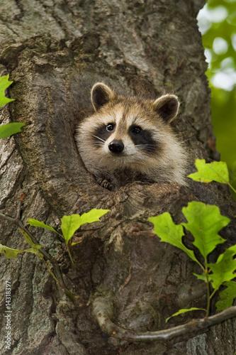 Raccoon III Fototapet