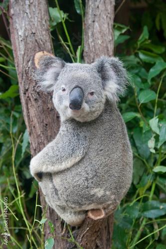 Staande foto Koala koala looking directly at you