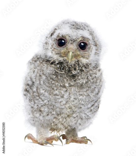 Fotobehang Uil front view of a owlet looking at the camera - Athene noctua (4 w