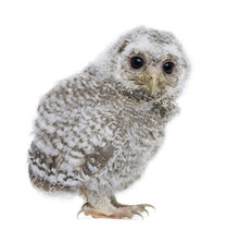 Side View Of A Owlet - Athene ...
