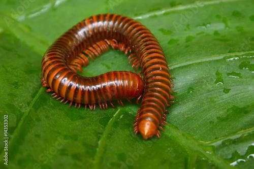 Vászonkép millipede macro on a green leaf