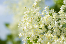 Frische Holunder Blüten