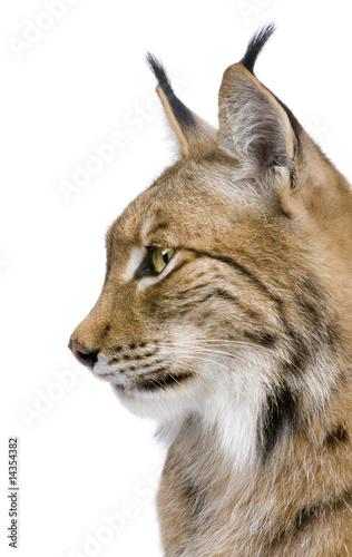 Foto auf Leinwand Luchs Close-up of a Eurasian Lynx's head - Lynx lynx (5 years old)