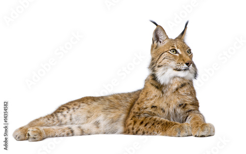 Canvas Prints Lynx Eurasian Lynx - Lynx lynx (5 years old)