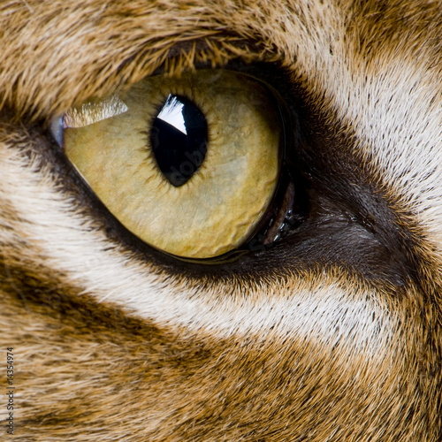Poster Lynx close-up on a feline' eye - Eurasian Lynx - Lynx lynx (5 years o