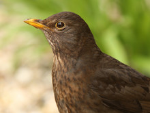 Portrait Of A Female Blackbird