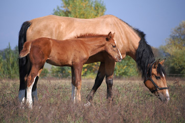 light-bay mare and chestnut foal on the field in sunlight