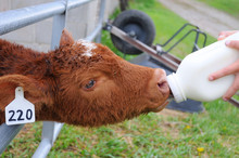 Cow Calf Taking Milk From Bottle