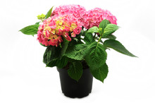 Hortensia In The Pot Isolated On White Background